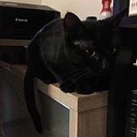 Adopt A Pet :: Cleo - Manhattan, KS