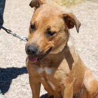 Adopt A Pet :: Lotus - Taos, NM