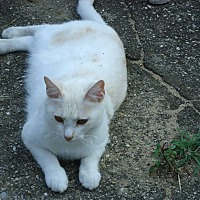 Domestic Shorthair Cat for adoption in Central Islip, New York - Creamsicle