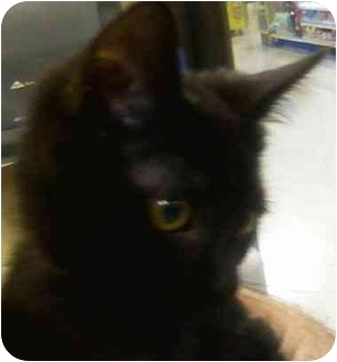 Domestic Shorthair Kitten for adoption in Annapolis, Maryland - Jingle