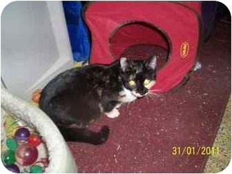 Calico Cat for adoption in York, Pennsylvania - Cindy