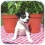 Photo 2 - Chihuahua/Jack Russell Terrier Mix Puppy for adoption in McArthur, Ohio - Jest
