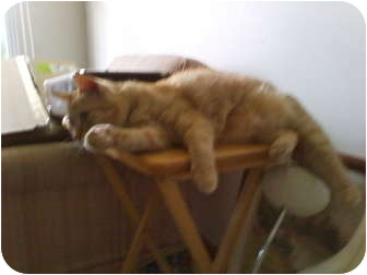 Domestic Shorthair Cat for adoption in Richfield, Ohio - Tucker