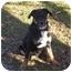 Photo 1 - Rottweiler/German Shepherd Dog Mix Dog for adoption in Allentown, Pennsylvania - Hoss-PENDING