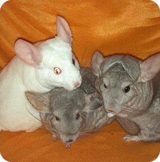 Chinchilla for adoption in Grand Rapids, Michigan - Boo, Peep & Pop