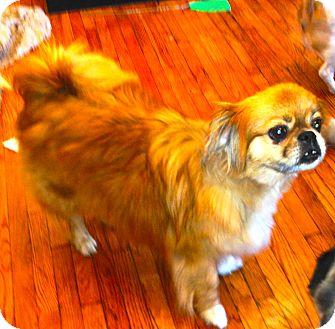 Pekingese Mix Dog for adoption in SO CALIF, California - MAX