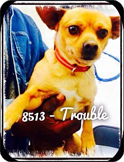 Chihuahua Dog for adoption in Dillon, South Carolina - Trouble