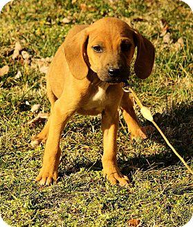 Labrador Retriever/Redbone Coonhound Mix Puppy for adoption in Spring Valley, New York - Ozzie