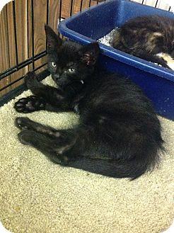 Domestic Shorthair Kitten for adoption in Bronx, New York - Bruce