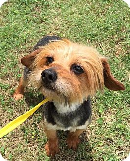 Yorkie, Yorkshire Terrier Dog for adoption in Harmony, Glocester, Rhode Island - Aeowin