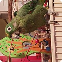 Adopt A Pet :: Harry - St. Louis, MO