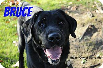Labrador Retriever Mix Dog for adoption in Hamilton, Ontario - Bruce