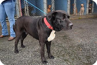 Labrador Retriever Mix Dog for adoption in Charlotte, North Carolina - WESLEY