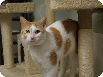 Domestic Shorthair Cat for adoption in Libby, Montana - Kiko