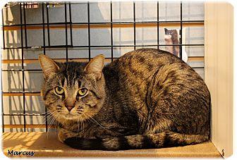 Domestic Shorthair Cat for adoption in Welland, Ontario - Marcus
