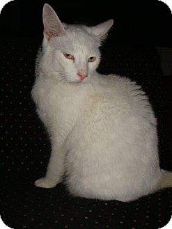 Domestic Shorthair Cat for adoption in Washington, North Carolina - LOUIS