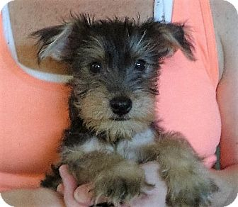 Schnauzer (Miniature) Mix Puppy for adoption in Rochester, New York - Norman