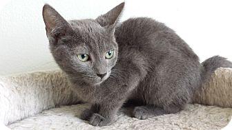 Domestic Shorthair Kitten for adoption in Westminster, California - Anise