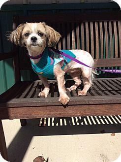 Shih Tzu Mix Dog for adoption in Mechanicsburg, Ohio - Isabella