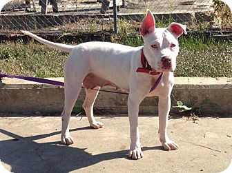 American Staffordshire Terrier/American Pit Bull Terrier Mix Dog for adoption in Covington, Tennessee - Opal