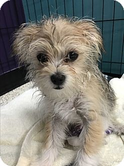 Yorkie, Yorkshire Terrier Mix Puppy for adoption in Thousand Oaks, California - Brady