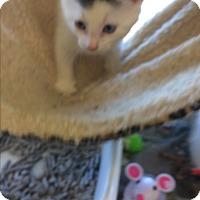 Adopt A Pet :: White kittens - Clay, NY