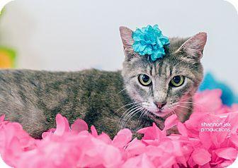 Domestic Shorthair Cat for adoption in Gainesville, Florida - Lorelai