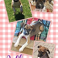 Adopt A Pet :: Jillie - Scottsdale, AZ