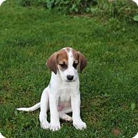Adopt A Pet :: Baby Dakota - Rockville, MD