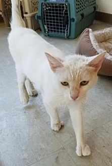 Domestic Shorthair/Domestic Shorthair Mix Cat for adoption in Fresno CA, California - Pinky