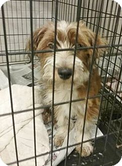 Terrier (Unknown Type, Medium) Mix Puppy for adoption in Woodbridge, Virginia - Superman