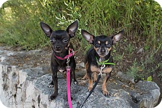 Chihuahua Mix Dog for adoption in Drumbo, Ontario - Poppy