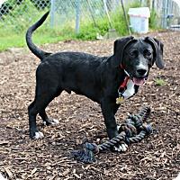 Labrador Retriever/Border Collie Mix Puppy for adoption in Dillsburg, Pennsylvania - Rico