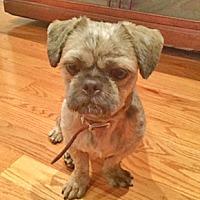 Shih Tzu/Affenpinscher Mix Dog for adoption in NYC, New York - CODY