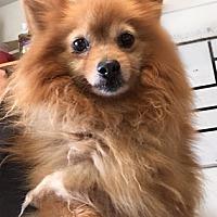 Adopt A Pet :: Pumpkin - Temecula, CA