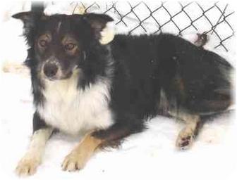 Border Collie/Australian Shepherd Mix Dog for adoption in Wyoming, Minnesota - Wallaby