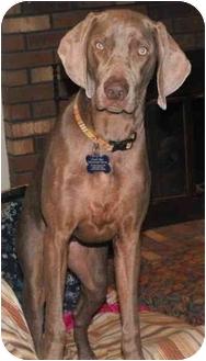 Weimaraner Puppy for adoption in Grand Haven, Michigan - Pebbles