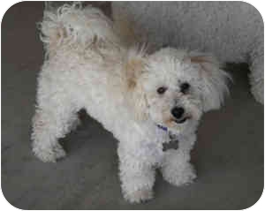 Bichon Frise Mix Puppy for adoption in La Costa, California - Riley