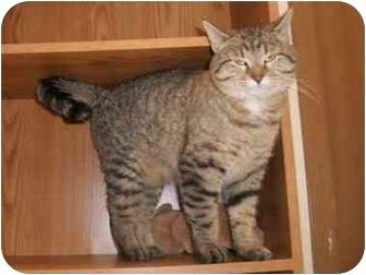 Domestic Shorthair Cat for adoption in Little Falls, Minnesota - Linn