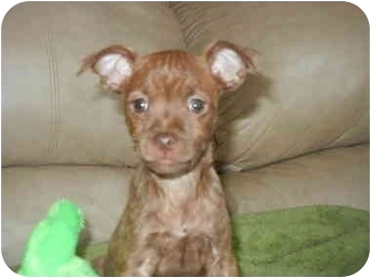 Terrier (Unknown Type, Small) Mix Puppy for adoption in Bedminster, New Jersey - Hershey