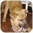 Photo 2 - Shepherd (Unknown Type)/Labrador Retriever Mix Puppy for adoption in Nashville, Tennessee - Toya