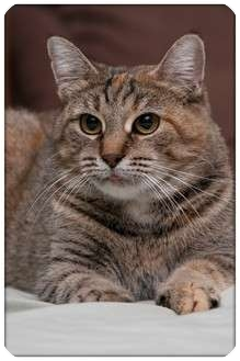 Domestic Shorthair Cat for adoption in Sterling Heights, Michigan - Millie - ADOPTED!