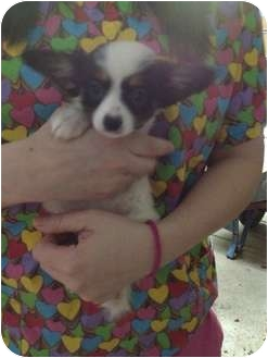 Papillon Puppy for adoption in Lonedell, Missouri - fenway