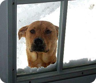 Shepherd (Unknown Type)/Labrador Retriever Mix Dog for adoption in Salem, New Hampshire - WOODY**