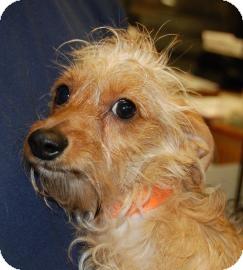 Dachshund/Miniature Poodle Mix Puppy for adoption in Brooklyn, New York - Daffy