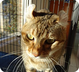 Domestic Mediumhair Cat for adoption in Morehead City, North Carolina - DC