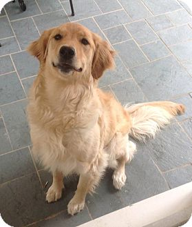 Golden Retriever Dog for adoption in New Canaan, Connecticut - Lexie