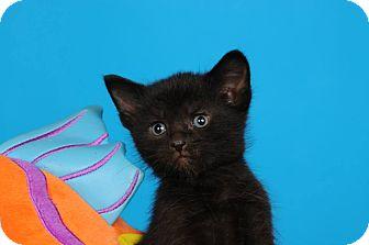 Domestic Shorthair Kitten for adoption in mishawaka, Indiana - Inkblot