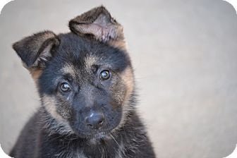 German Shepherd Dog Mix Puppy for adoption in Richmond, Virginia - Pear