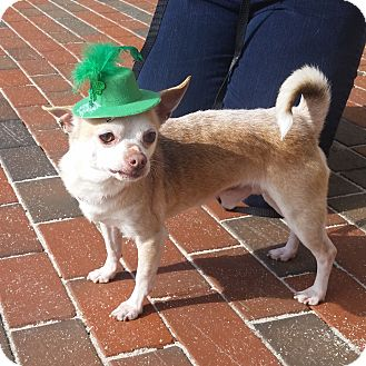 Chihuahua Dog for adoption in Prince George, Virginia - George, Jr
